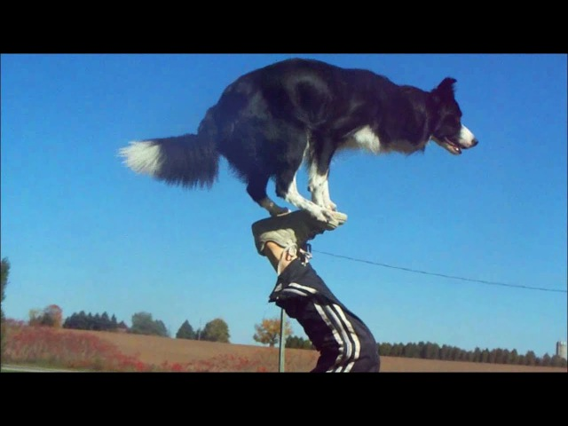 Nana the Border Collie Performs Amazing Dog Tricks