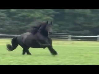Фриз красивая порода лошадей