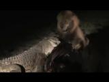 Нильский крокодил оттесняет льва