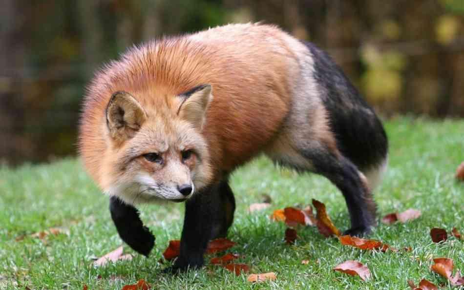 В Ростовской области дикие лисы вновь стали открыто подходить к людям
