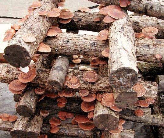 Выращивание грибов шиитаке на бревнах 81