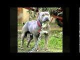 Самые сильные собаки в Мире (Топ-10)
