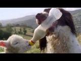 Собака кормит сироту ягненка.