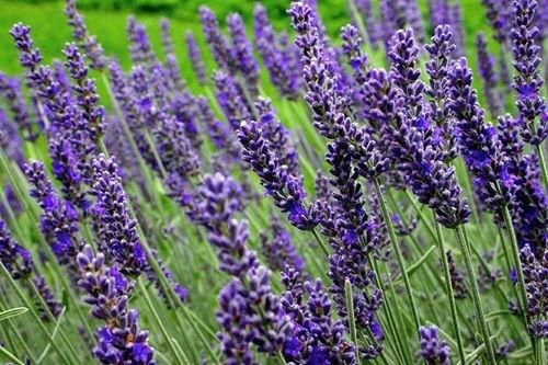Цветок фиолетовый как называется