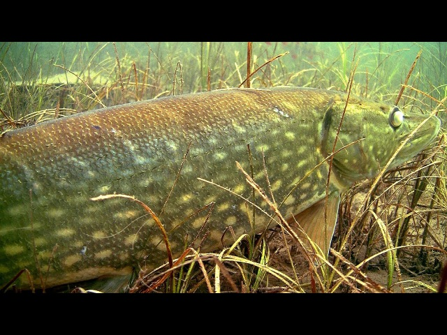 Fishing: a huge monster pike underwater. Рыбалка: щука монстр, подводная съёмка. Muskie snoek gädda.