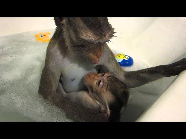 Купание обезьянок)