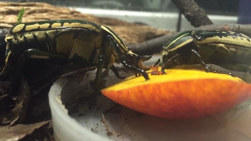 Полифемусы кушают Mecynorrhina polyphemus eating