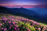 Цветущие склоны Карпат, Украина. картинки, красота, горы, природа, растения, цветы.