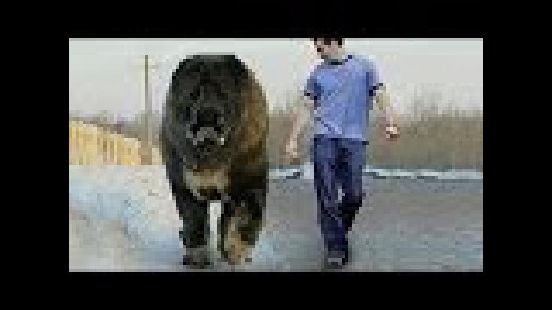 Biggest Dog Found On Earth Caucasian Shepherd Kangal Pitbull rottweiler German Shepherd