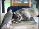 Наглый голубь и терпеливый кот