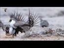 Тетерев полынный шалфейный Sage Grouse Centrocercus urophasianus
