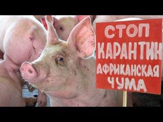 Внимание!!! Африканская чума свиней!