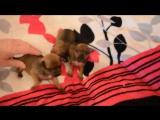 Делькины щенки открыли глазки..........