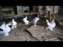 статные голуби 2015
