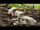 Ястреб-тетеревятник с новорожденными птенцами