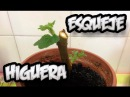 Como Hacer Esqueje De Higuera || Huerto Organico || La Huertina De Toni