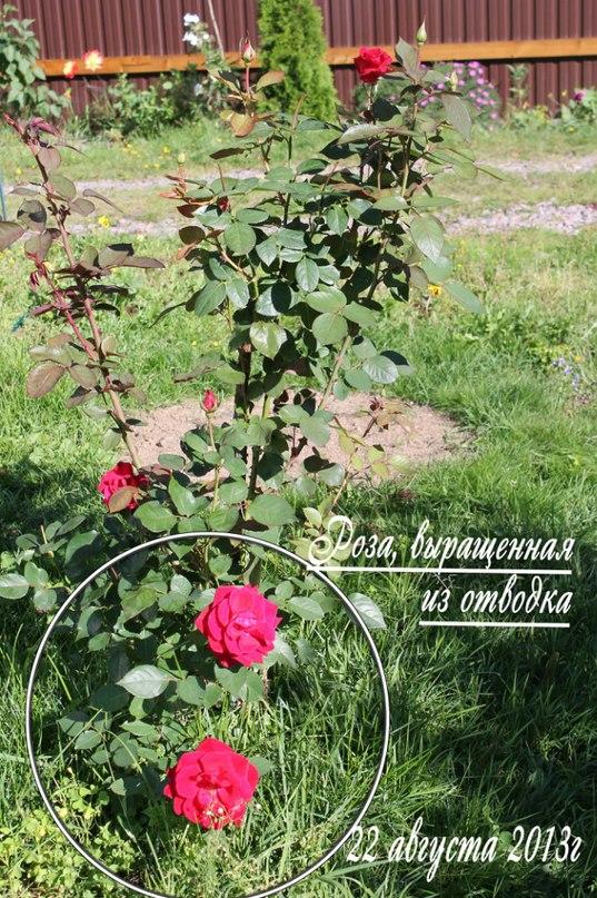 Размножение роз черенками и отводками