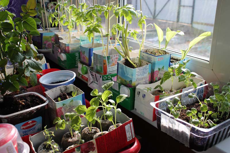Взошла рассада перцев и томатов - как ухаживать