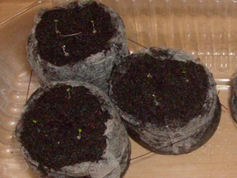 Как вырастить бегонию из семян — 15 полезных советов
