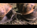 The Sex Life of a Snail - Wildlife Documentary