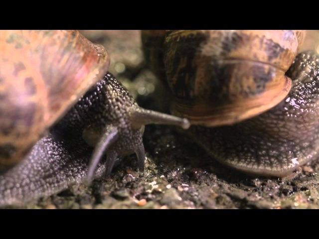 The Sex Life of a Snail - Wildlife Documentary » Freewka.com - Смотреть онлайн в хорощем качестве