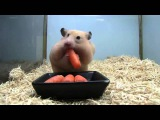 Забавный хомяк  Funny hamster