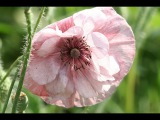 Beautiful Poppies! Прекрасные маки!