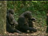 Твои веселые друзья зверята. 12 серия. Shimpanze.Charli.2005.XviD.DVDRip.Kinozal.TV