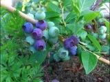 Черника садовая,посадка в августе.Советы огородникам.