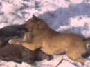Волк vs Порода Алабай
