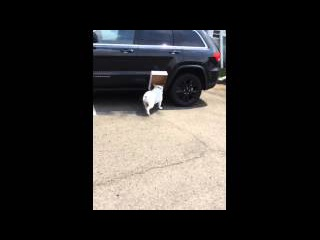 English Bulldog Diesel- The Box Lover 🐶