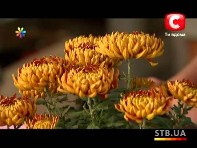 Как вырастить хризантемы дома? - Все буде добре - Выпуск 96 - 13.12.2012 - Все будет хорошо