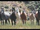 Cavalli bradi