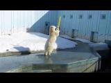 Energetic Polar Bear MILK
