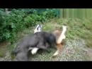 Собачьи бои кане корсо 9 мес  vs сао алабай 5 мес  щенки