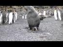 Тюлень изнасиловал пингвина на глазах у всей стаи