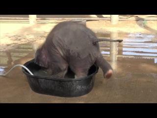 Слонёнок пробует поместиться в ванной