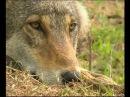 Исповедь волка