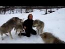 и Волки помнят добро! дикий мир и поведение животных в нем.