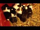 New born baby guinea pigs Новорожденные морские свинки