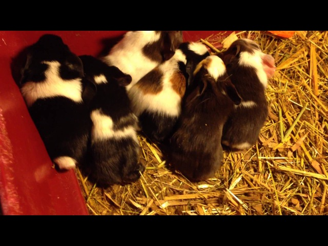 New born baby guinea pigs. Новорожденные морские свинки.