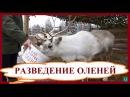 Разведение оленей. Выгодный домашний бизнес в деревне и на селе.