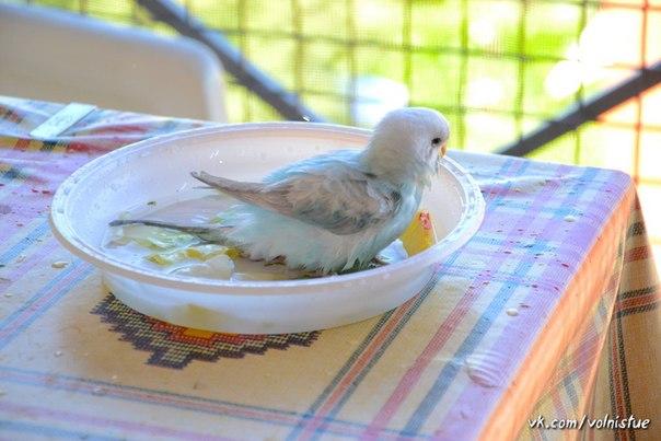 Можно ли мыть попугая волнистого