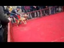 Питбуль переключился на своего хозяина в собачьем бою (Pitbull attack his owner in dog fight)