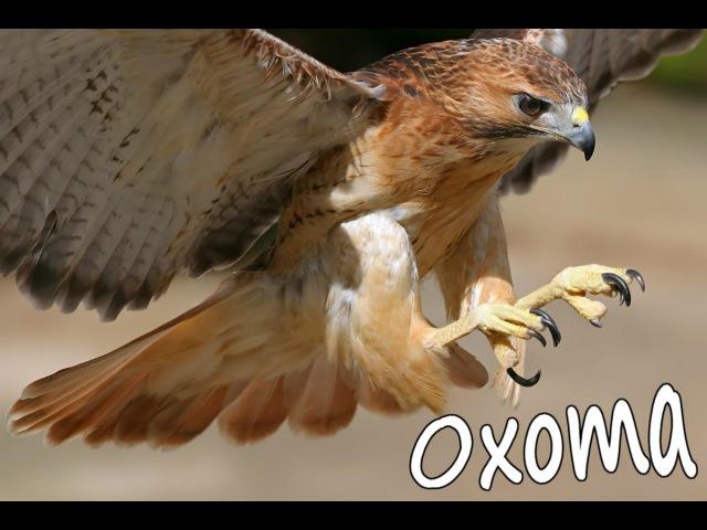 Ястреб на Охоте, Ястреб Хищная Птица