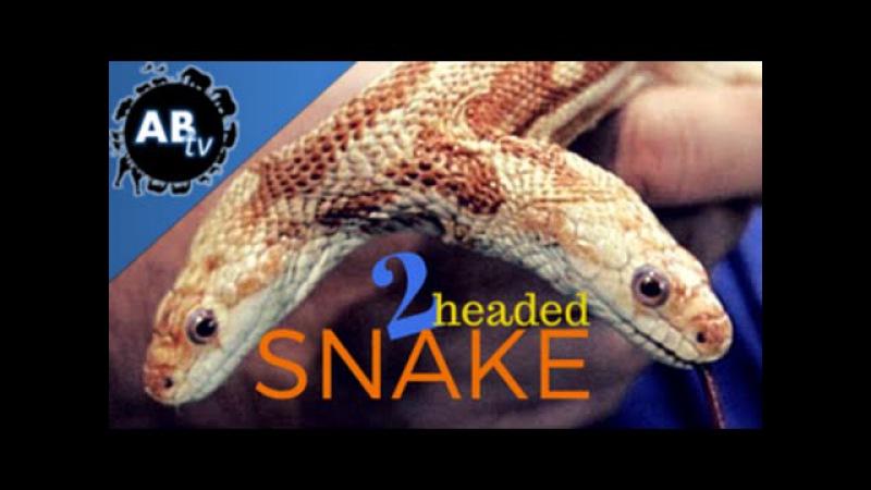 Брайан Барчик рассказывает о своей потерянной и обретённой мечте - двухголовой змее