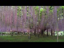 あしかがフラワーパーク ASHIKAGA FLOWER PARK Shot on RED ONE