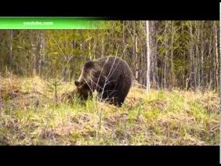 По Нижневартовскому району шатается раненый медведь