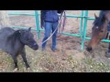 Кунфу-пони Букаша)