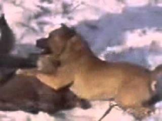 Крутая драка волка и собаки